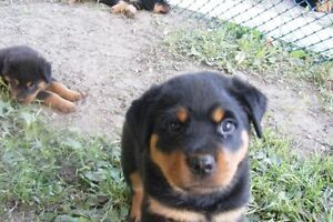 Rottweiler -  Ready to go October 1st
