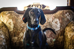 Dave needs a new home! Coonhound black lab cross