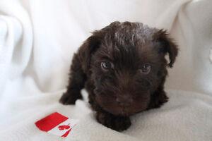 CKC Registered Miniature Schnauzer Puppies