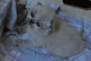 PURE TORTIE POINT PERSIAN GIRL FOR SALE
