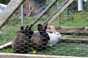 Flemish Giant bunnies for sale