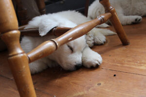 GREAT WHITE PYRENEES PUREBRED / ALL THE PUPPY'S WERE ADOPTED London Ontario image 3