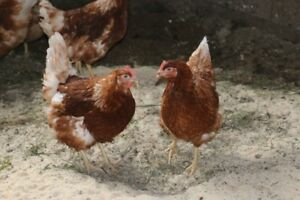 5 month old ISA brown laying hens available end of April