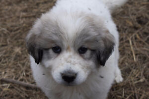 LOOKING TO ADOPT - Great Pyrenees puppy (female)