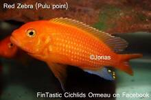 Red Zebras.......very colourful African Cichlids! Ormeau Gold Coast North Preview