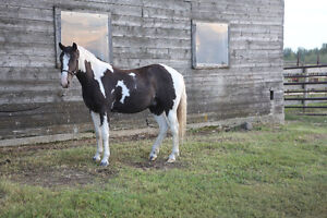 wonderful, loving pony! Strathcona County Edmonton Area image 1