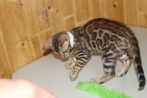 Bengal Asian leopard kittens. Exotic toy leopards. Truly a famil
