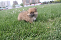 ♥Super Cute Pomeranian Puppies♥