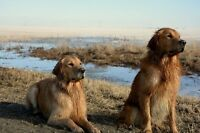 LOST: Two Golden Retrievers