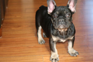 Black and Tan french bulldog puppy looking for his family