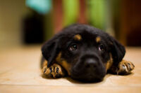 Looking for either Rottweiler puppies or German Sheppard.