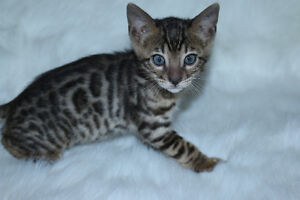 "Bengal cat , kitten for sale boy, "" Red """