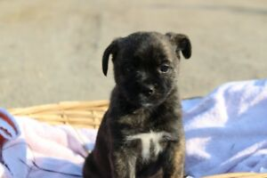 Chug/Terrier puppies for sale