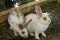 Large breed meat rabbits for sale.