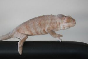 Female panther chameleons need new home