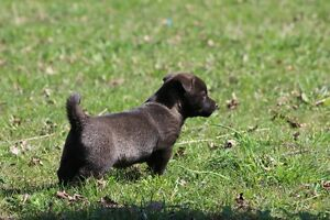 Shiba Inu cross Chihuahua, Toy Poodle puppies for sale!