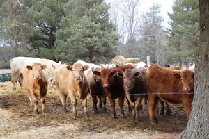 Looking to start a beef herd? - HEIFERS & A BULL FOR SALE