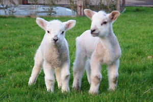 Looking for a dozen lambs for June!