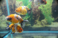 XL Ranchu in store now