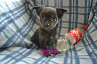 Unique Merle Blue Colouring Toy Chihuahua Puppies