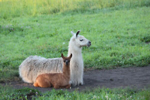 Donkeys and Llamas for Sale