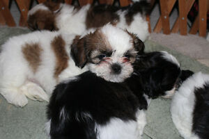 Only 2 Shih Tzu puppies left