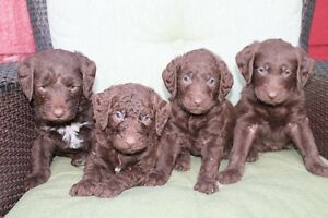 Adorable Chocolate Labradoodle pups