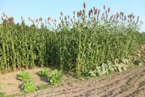 Cane Sorghum Seed for Sale