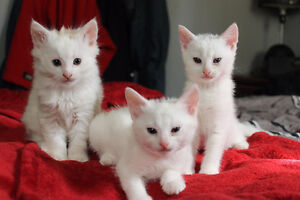 Kittens looking for a good home - Free