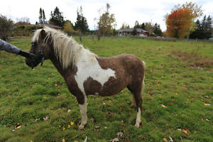 ***SOLD***Sexy Carlos 5 years old Pony