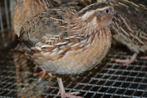 Fertilized Jumbo Coturnix quail eggs for sale