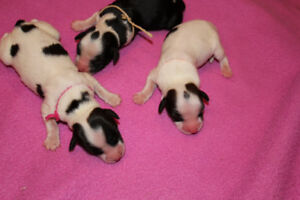 CKC Reg. Tibetan Terrier puppies for rehoming to approved homes.