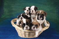 CKC Registered English Bulldog Puppies