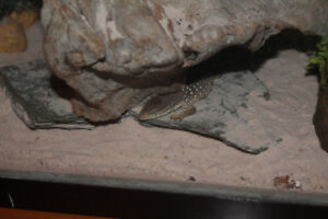 varan des savanes bébé reptile