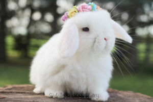 Last BLUE EYED baby holland lop bunny for sale