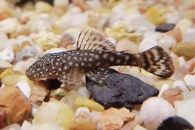 Juvenile bristlenose pleco fry fish aquarium catfish