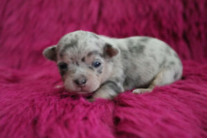 ××Blue Merle Chihuahua Puppies××