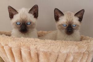 ♥Prestige Kittens Available♥
