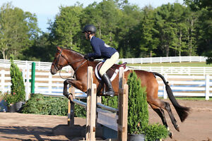 Fantastic/ Super honest Large Pony to lease/sale