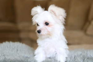 Teacup Male morkie puppy