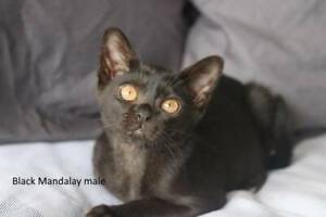 Purebred Mandalay Kittens For Sale