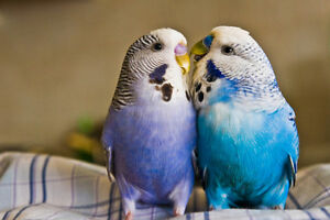 Willing to Adopt a Budgie