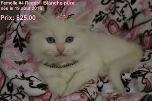Chattes, et chatons Ragdoll