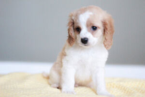 Cockapoo puppies for rehoming