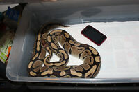 Normal Female Ball Python for Adoption!