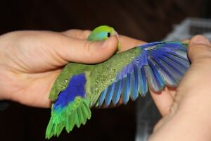 SWEET BABY PARROTLETS IN MANY COLOURS