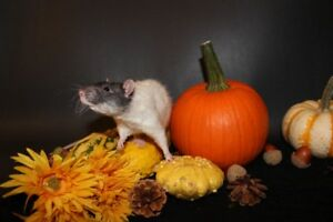 Baby Rats $10 - Rex Males - capped/hooded
