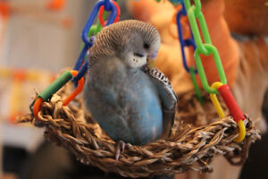 Handraised baby budgies ** We still have 5 left
