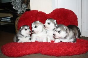 Registered. Siberian Husky Puppies