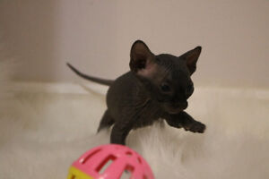 We have Black Sphynx kittens ready to go April 17th!